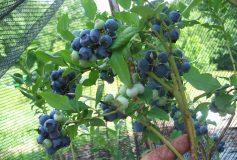 Preparing a Garden for Fruit