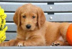 Lockdown Puppies